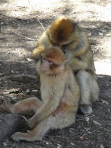 Monkeys grooming each other in the middle of the N13.